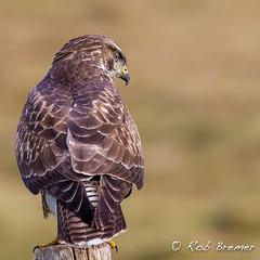 Buzzard in hunting mode (rob.bremer) Tags: buizerd buteobuteo buzzard birds bird noordhollandsduinreservaat predatorbird