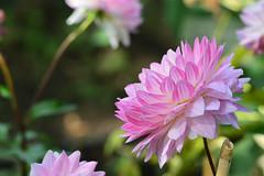 Dahlia flower (Yasuz) Tags: dahlia flower pink nature park garden ueno tokyo       nikon nikondf 85mm zeiss carlzeiss planart1485 zf2