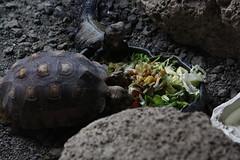turtle lizard (Olaya Garcia) Tags: canon eos 1000d canarias canary islas island tenerife teneriffe loroparque lp loro parque tortuga turtle lagarto lizard