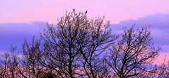 Those PESKY Cats Can't Reach Us NOW...... (Lani Elliott) Tags: sunset sky cloud clouds trees silhouette silhouettes pink mauve wattlebirds birds brilliant