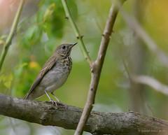 Gray Cheeked Thrush (Danielirons02) Tags: nikontc14 nikond610 nikon nikon300mmf4 gcth md queenannescountymd queenannescounty maryland maryland2016 songbird thrush fall2016 2016 graycheekedthrush