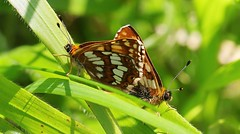 Duke of Burgundy (Mating) 240516 (2) (Richard Collier - Wildlife and Travel Photography) Tags: butterflies british wildlife naturalhistory macro dukeofburgundy mating insects