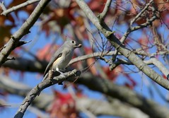 Tufted Titmouse (Baltimore Bartender) Tags: northpointstatepark marylandbirds tufted titmouse