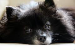 (Melissa_JMH) Tags: dog friend best nikon d610 nikond610 pet detail closeup animal resting nose wiskers whiskers