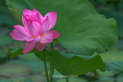 Y2341.0514.Hng .Tam Nng.Ph Th. (hoanglongphoto) Tags: asia asian vietnam northvietnam nature flower lotus outdoor canon canoneos1dx canonef100400mmf4556lisusmlens hoa hoasen tamnng phth thinnhin hoasenhng pinklotus lotusblooms lotusblossom sen plant