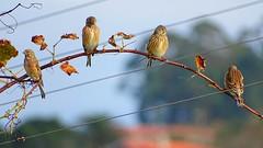 Carduelis cannabina pardillo (Maflay28) Tags: pardillo cardueliscannabina photobirds birds aves wildlife fotografa fotoshoot naturaleza nature photography