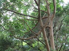 Miva Mahogany (Dysoxylum mollissimum subsp. molle) Royal Botanic Gardens Sydney (Poytr) Tags: mivamahogany dysoxylummollissimumsubspmolle dysoxylummollisimum meliaceae royalbotanicgardenssydney arfp nswrfp qrfp rbgsarfp rbgs dysoxylum outdoor tree plant sydney