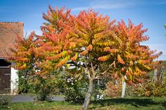 The Beauty of the Staghorn Sumac in Autumn (a.sekkas) Tags: autumn 50mm nikon d5300 essigbaum asekkas nikkor nikonflickraward staghornsumac nikkor50mm118g