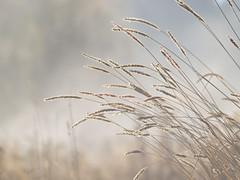 Au gré du vent **-*- ° (Titole) Tags: grasses frost frosted misty mist titole nicolefaton pastel thechallengefactory unanimouswinner twothumbsup