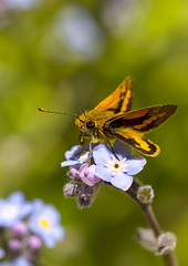 Skipper Butterfly on Forget-Me-Not (aussiegall) Tags: butterfly skipperbutterfly bug insect wings flower