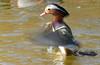 Mandari esbandintse (Albert Ferré (Artbel )) Tags: anec duck pato canard mandarí mandarín mandarinaduck anecmandarí patomandarín pentaxk3 pentaxda55300 elcavet