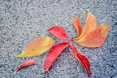 SAM_6161 (Stille Wasser) Tags: herbst rot gelb braun dachpappe herbstlaub grau wilderwein herbstfärbung bunt