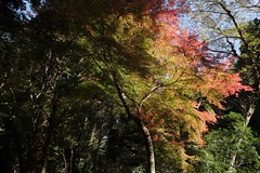 Momiji (ababhastopographer) Tags: nara kasugayama mtkasuga kasuga yagyuroad maple acerpalmatum gradation shadowplay        fivecolors