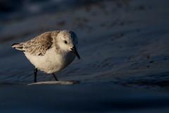 bcasseau sanderling ( Calidris alba ) Erdeven 161109o2 (pap alain) Tags: oiseaux chassiers charadriids bcasseausanderling calidrisalba sanderling erdeven morbihan bretagne france