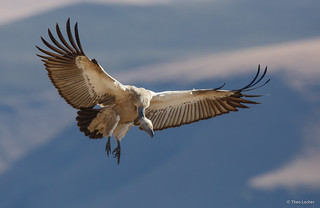 Cape Vulture landing - Gyps coprotheres -5192