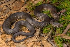 Highlands Copperhead (Austrelaps ramsayi) (JLoyacano) Tags: australia austrelapsramsayi highlandscopperhead jacobloyacano snake venomous austrelaps bluemountains copperhead nature reptile wildlife