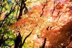-  (samyaoo) Tags:            autumn taiwan fushoushan farm maple momiji red leaf taichung bokeh