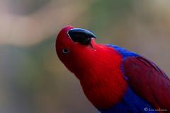 Female Eclectus Parrot (leendert3) Tags: eclectusparrot ngc coth5 npc