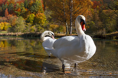 Swans (velvia rules!) Tags: blaubeuren rusenschloss schwbischealb wandern schwan swan