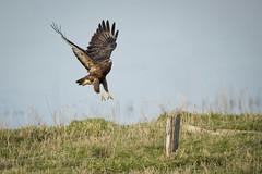 Buzzard taking off and landing (skees499 ) Tags: buizerd commonbuzzard buteobuteo keesmolenaar d500 nikon nature vogel birdofprey roofvogel biesbosch werkendam noordwaard netherlands holland