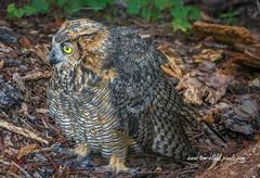 Owl on Ground (tclaud2002) Tags: owl bird birdofprey predator wildlife northjupiterflatwoods florida usa outdoors outside