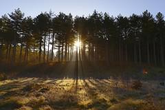 Formby Woods - November-2016_007_gpx (syberad) Tags: 2016 winter formby woods forest pine trees seaside coast coastal sssi sunrise morning landscape formbywoods formbynaturereserve merseyside november sunshot intothesun shadows shadow plants