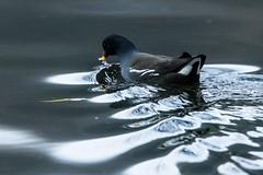 Moorhen (2) (grahamh1651) Tags: helstonboatinglake birds gulls ducks geese waterbirds swans