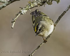 Golden-crowned Kinglet IMG_5767 (ronzigler) Tags: goldencrowned kinglet songbird bird birdwatcher nature avian sigma 150600mm canon 60d