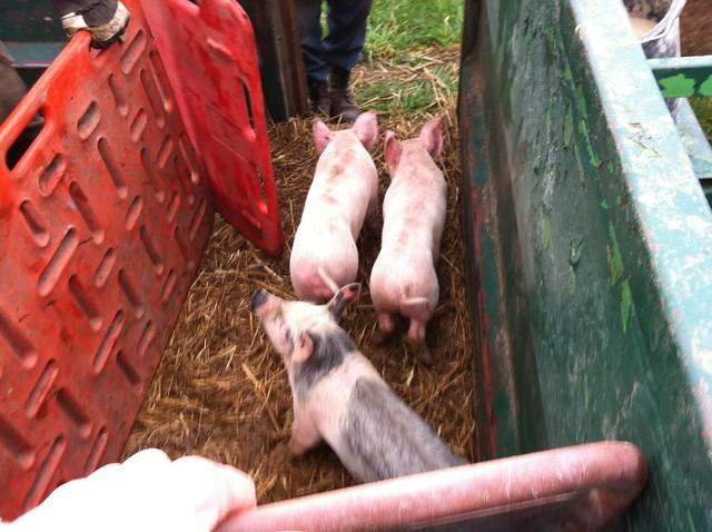 Schwein P1
