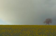 aprilwetter P4120634 (hans 1960) Tags: sky tree nature yellow germany landscape natur himmel grau rape april landschaft raps baum farben mygearandme capriolen aprilschauer