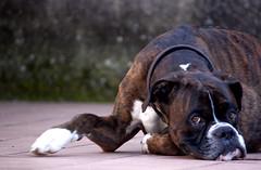 (ratbril//M.Prat//) Tags: dog chien color animal perro boxer mirada mascota gos joc canoneos500d ratbril
