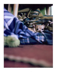 Floyd tucked into his bed (EllenJo) Tags: dog pet chihuahua cute home cozy small handsome 11 sleepy f56 floyd 8yearsold dogbed ilovehim pettoy petbed instantfilm fujifp100c thelittledoglaughed almost9 ellenjo ellenjoroberts bornin2003 rollfilmcameraconvertedtopackfilm