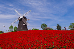 Windmill on salvia (TORO*) Tags: park blue red sky flower windmill japan umbrella landscape ed nikon salvia osaka 24mm nikkor afs tsurumi ryokuchi f14g d3s