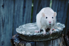Clementine (Holli S.) Tags: pets animals rodent rat rats fancy clementine fancyrat fancyrats