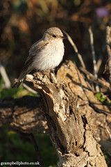 Spotted Flycatcher (balearic race) Mallorca 0512 (gcampbellphoto) Tags: bird nature spain wildlife mallorca spottedflycatcher passerine sacoma puntadenamer gcampbellphotocouk