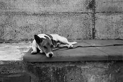 Jack (guido.masi) Tags: dog film cane liguria jackrussell vernazza biancoenero minox35gt pellicola 5terre guidomasi