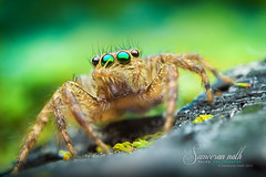 OMG! (Sameeran_Nath) Tags: india macro nature beautiful canon 50mm spider jumping eyes colorful f16 median nath 600d sameeran