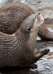 Otter (paulgmccabe) Tags: london nature animal mammal wildlife reserve otter wetlands otters barnes protected londonwetlandcentre wetlandcentre challengefactorywinner