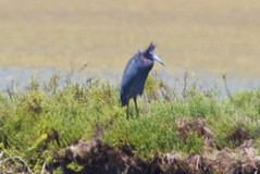Little Blue Heron (Finatic 's iNaturalist Stream) Tags: littleblueheron