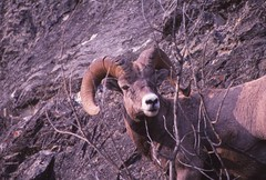 IMG_0020 (Rock Rabbit Photo) Tags: scans sheep horns bighorn rams slides