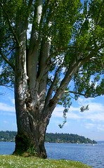 Lover's Tree. (Dena Rosko) Tags: seattle park lake tree beach nature landscape washington treehugger andrography streamzoo