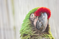 Military Macaw (Inside The Hive Photography) Tags: macaw militarymacaw