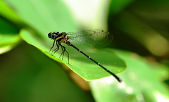 Damselfly (vijaykhaitan) Tags: orange robin birds butterfly dragonfly owl damselfly thrush fantail barbet barbler
