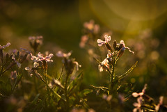 Spring (Full of His Grace) Tags: flowers sunset sunlight spring flare goldenhour purpletop
