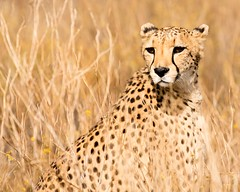 Kiki (APharmGirl) Tags: people canon bush wildlife lion cheetah namibia cougar 5dmarkiii