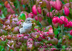 sparrow on bbush 10-11 (lorrequer) Tags: birds sparrows burningbush birdsonfeeders