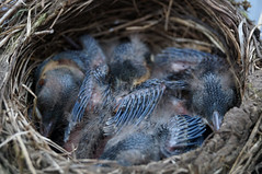 Settled (Shroom_Illusions) Tags: babies nest feathers blackbird hatchling nativebird