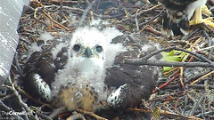 nestling looking at camera (Cornell Lab of Ornithology) Tags: bird nest cams cornell redtailedhawk nestlings labofornithology cornelllabofornithology