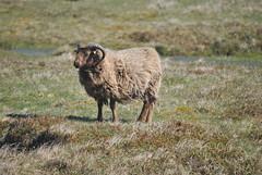 Sheep (Common Buzzard) Tags: scotland sheep shetland foula