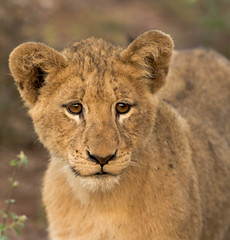 Lion Cubs (1 of 1).jpg (lknight_1) Tags: southafrica lion cubs kruger lioncubs singita